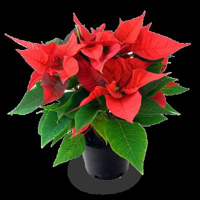 Pascuero-poinsettia-planta-ornamental-verdponiente